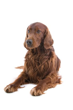 front view of an irish setter lying on the floor photo