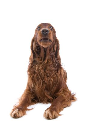 red irish setter isolated on a white background photo