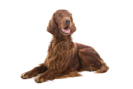 red irish setter isolated on a white background Stock Photo - 7124983