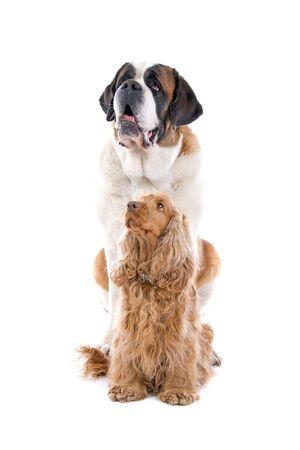 saint bernard: Saint bernard cane seduto dietro un cane cocker spaniel