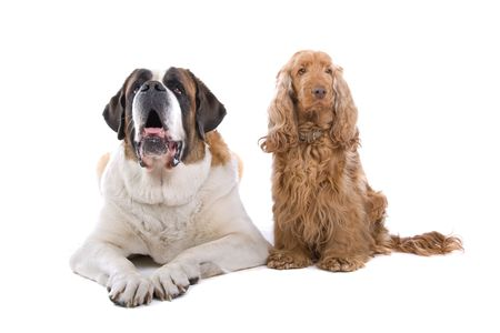 front view of a saint bernard dog and cocker spaniel photo