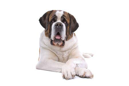 saint: Saint bernard dog isolated on a white background Stock Photo