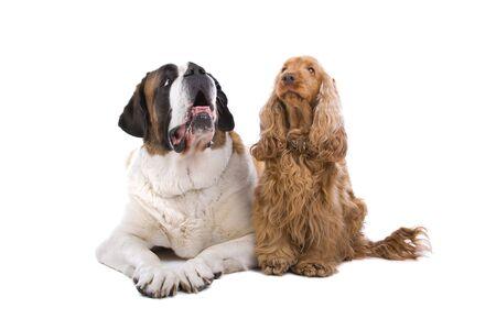 saint bernard: saint bernard dog resting nearby a cocker spaniel dog