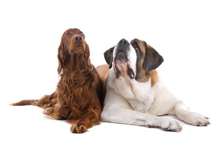 irish red setter and saint bernard dog isolated on a white background Stock Photo - 7125029