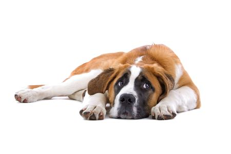 Saint bernard dog isolated on a white background photo