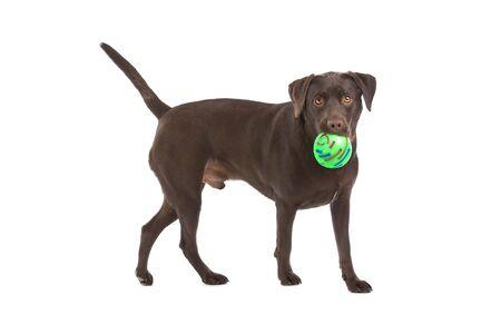 labrador retriever: perro juguet�n chocolate labrador retriever