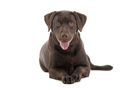 chocolate labrador retriever dog looking at camera and sticking out tongue