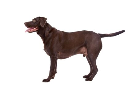 profile of a chocolate labrador retriever dog