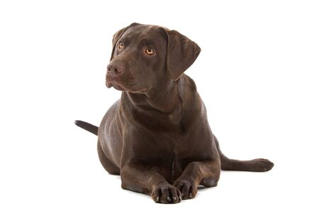 laying forward: chocolate labrador retriever dog isolated on a white background
