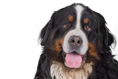 head of saint bernard dog sticking out tongue photo