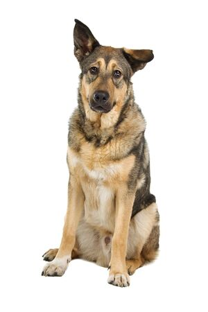 half breed: front view of a mixed breed dog ( half shepherd) Stock Photo