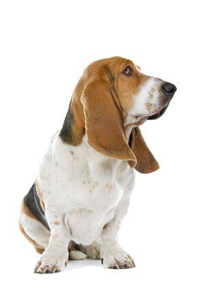 Basset hound isolated on a white background  photo