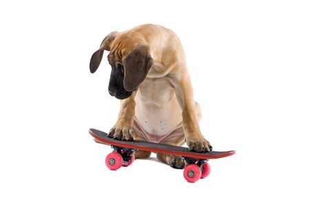 great Dane puppy dog on a skateboard isolated on a white background photo