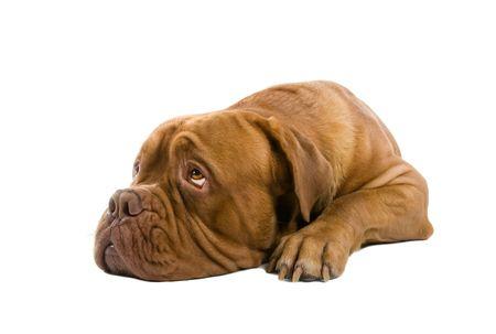 naar beneden kijken: Frans Mastiff hond geïsoleerd op een witte achtergrond