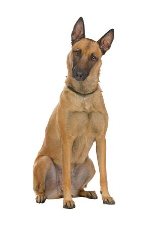 sitting Belgium Shepherd dog Stock Photo - 6764136