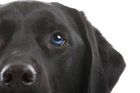 black labrador retriever with blue eyes photo