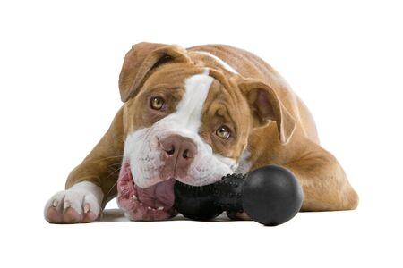 masticar: Perro bulldog de renascence aislado en un background.playing blanco con un juguete
