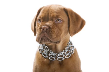 collares: bula Mast�n cachorro, Bordeaux dog pup aislado en un fondo blanco  Foto de archivo