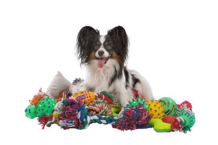 papillon dog on a mountain of toys