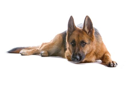 sniff: German shepherd dog isolated on a white background Stock Photo