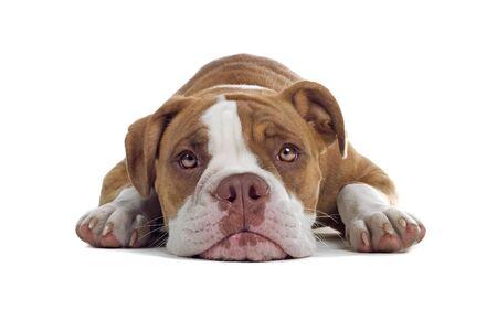 Renascence Bulldog dog isolated on a white background photo