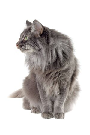 big silver Norwegian forest cat isolated on a white background photo