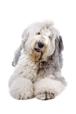 sheepdog: Old English Sheepdog (bobtail) isolated on a white background