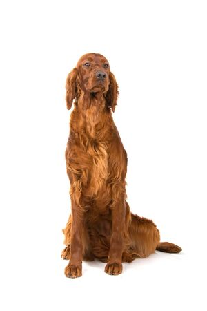 front view of an irish red setter photo