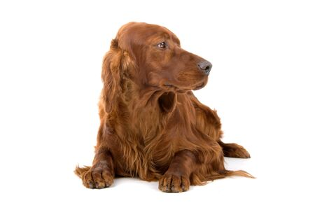 irish red setter isolated on a white background Stock Photo - 7122953