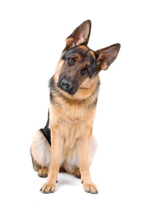 german shepherd dog looking at camera photo