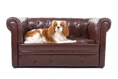 cavalier king charles spaniel resting on a couch photo