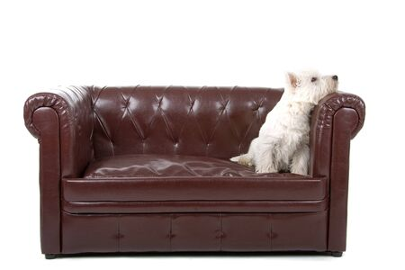 West Highland White Terrier dog isolated resting on a couch photo