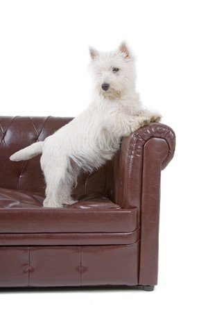 West Highland White Terrier dog isolated up on a couch photo