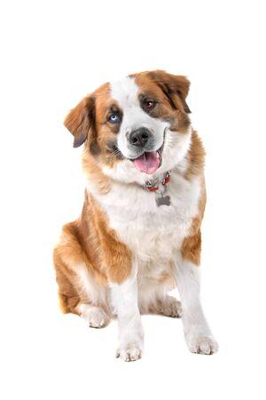 mixed breed st. bernard dog sticking out tongue Stock Photo