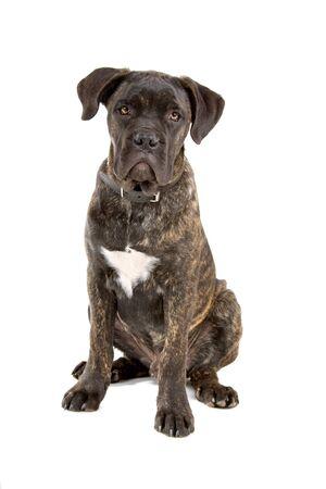 cane corso: vista frontale di un cucciolo di corso canna isolato su uno sfondo bianco  Archivio Fotografico
