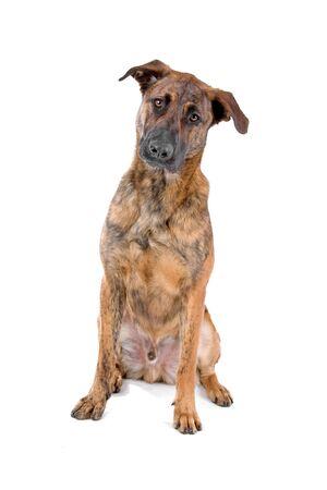 mixed breed dog (Dutch shepherd/Belgian shepherd)  looking at camera Stock Photo - 7122165