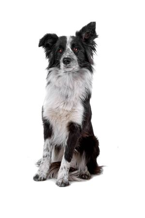 sheepdog: front view of a sitting border collie dog Stock Photo