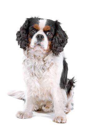 cavalier king charles spaniel: cavalier king charles spaniel dog resting and looking at camera