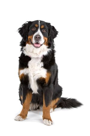 bernese mountain dog: front view of a bernese mountain dog looking at camera