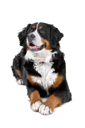 berner: front view of a bernese (berner sennenhund)  mountain dog Stock Photo