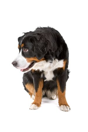 berner: bernese mountain (berner sennenhund) dog resting and looking at side