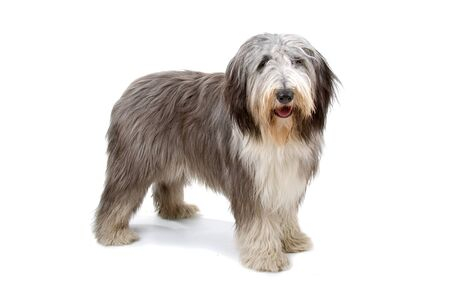 Bearded collie, highland collie, mountain collie dog Stock Photo - 7121960