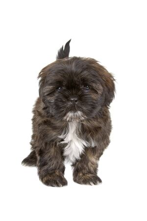 cute shih tzu dog isolated on a white background photo
