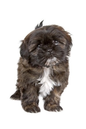 black and white shih tzu puppy looking at camera  photo