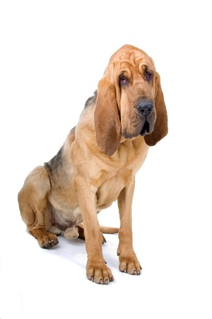 bloodhound (st.hubert or sleuth) isolated on a white background  photo