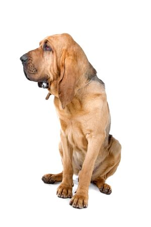 chien: bloodhound (st.hubert or sleuth) isolated on a white background