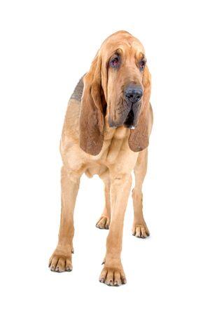 bloodhound: front view of a bloodhound (st.hubert or sleuth)  Stock Photo