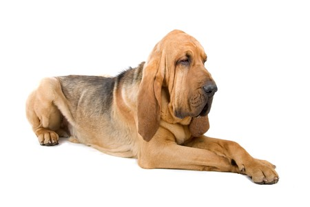 bloodhound: lying bloodhound (st.hubert or sleuth)  Stock Photo
