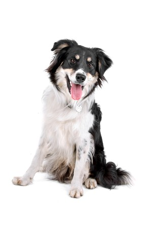 sitting dog: mixed breed dog (half border collie) sticking out tongue