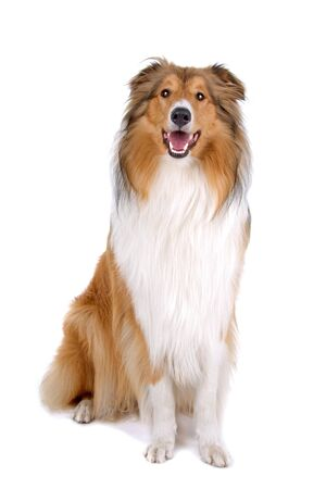 lassie: Rough collie (scottish) Scottish shepherd (Lassie) isolated on a white background